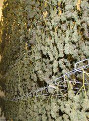 Blackberry Kush Flower at Curaleaf AZ Bell